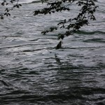 Branch swimming in the Rhine